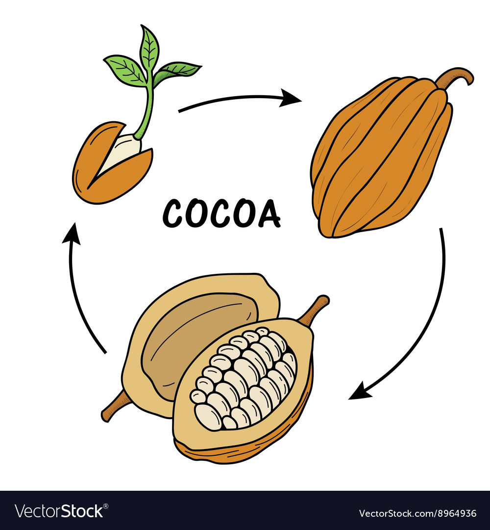 hight resolution of the life cycle of cocoa vector image