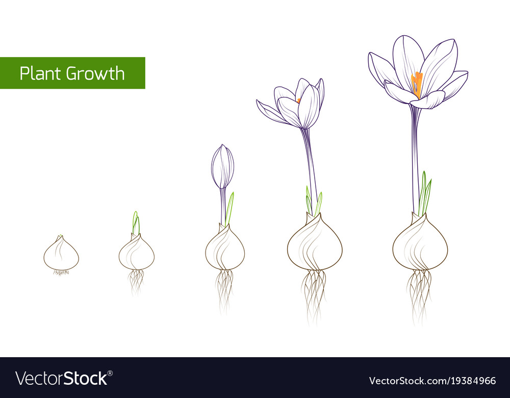 sunflower plant life cycle diagram ceiling fan wiring with capacitor connection crocus flower growth evolution concept vector image