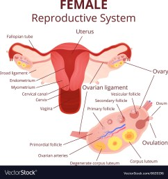 female reproductive system vector image [ 1000 x 1062 Pixel ]