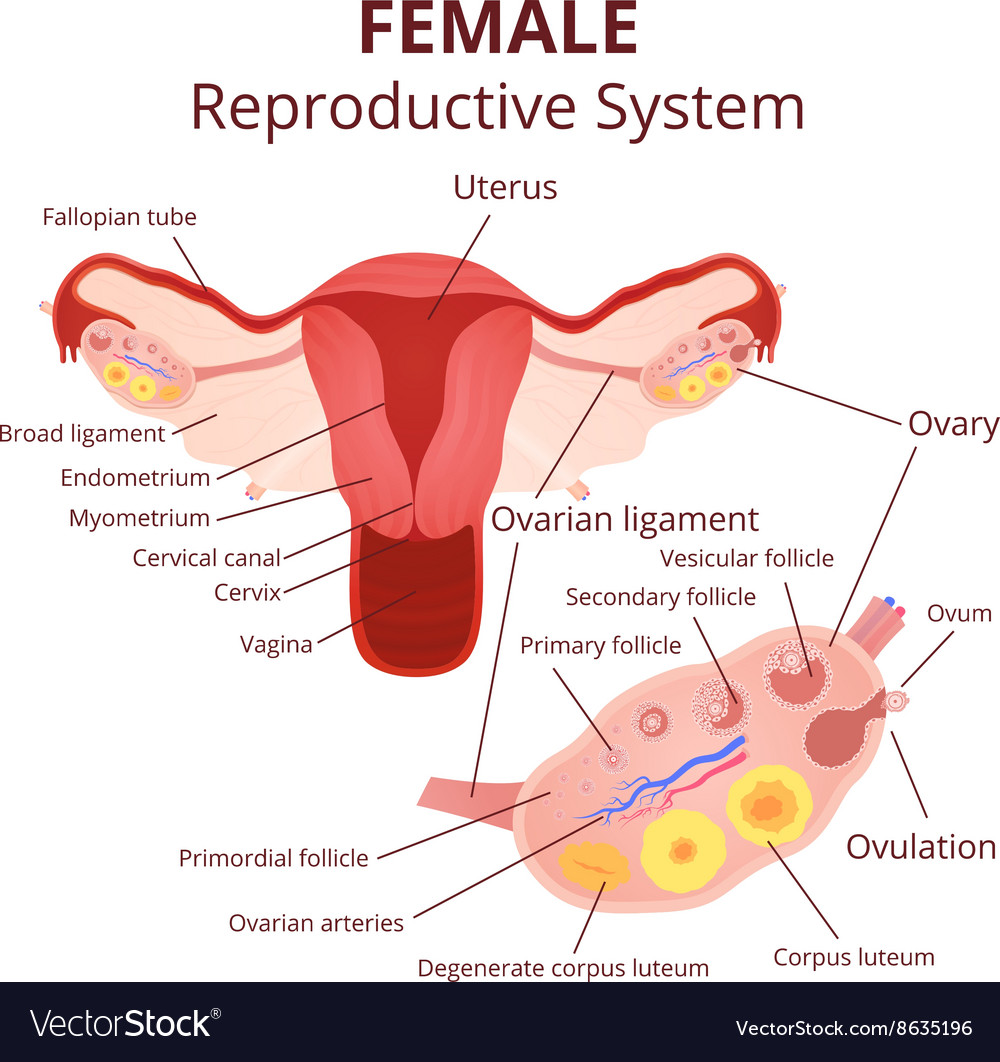 hight resolution of female reproductive system vector image