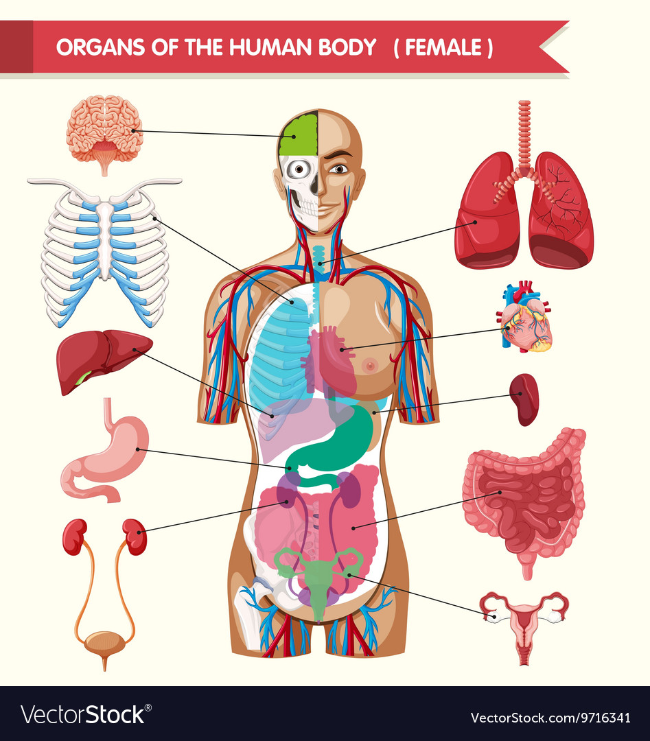 hight resolution of organs of the human body diagram royalty free vector image diagram of the body organs