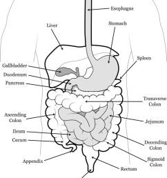 human abdomen vector image [ 779 x 1080 Pixel ]