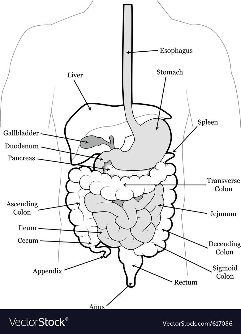 hight resolution of human abdomen vector image