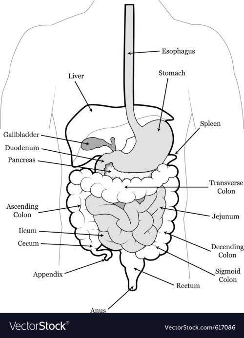 small resolution of human abdomen vector image