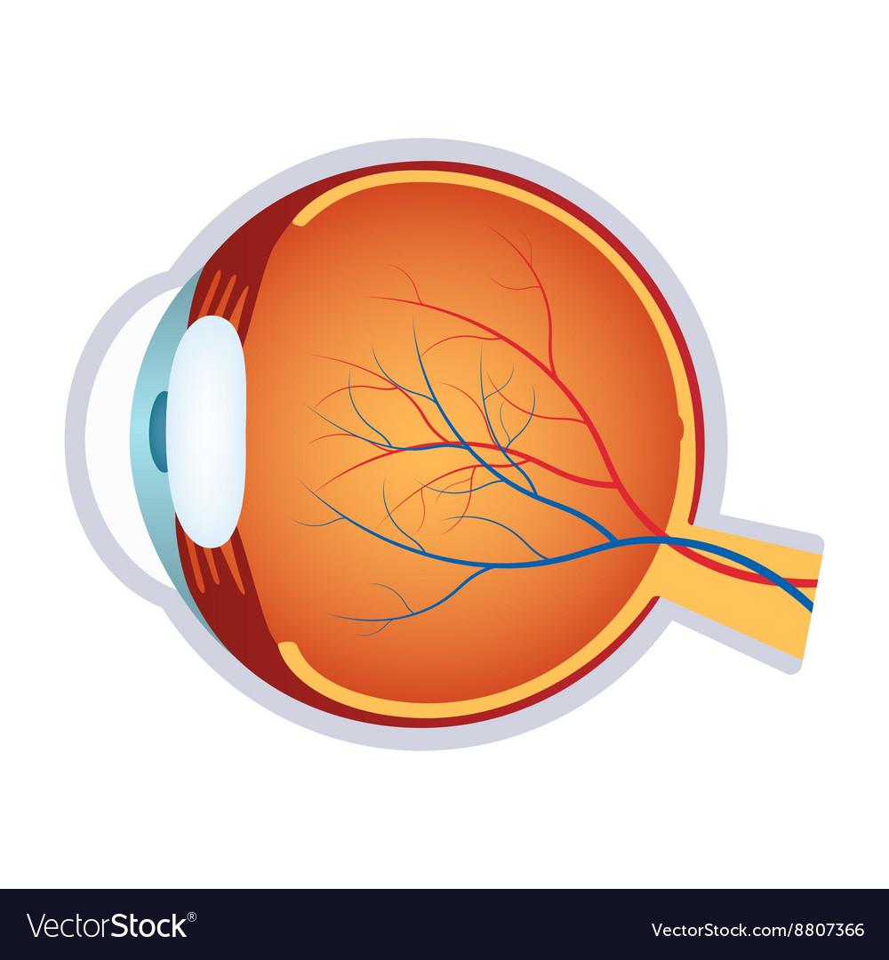 a human eye anatomy