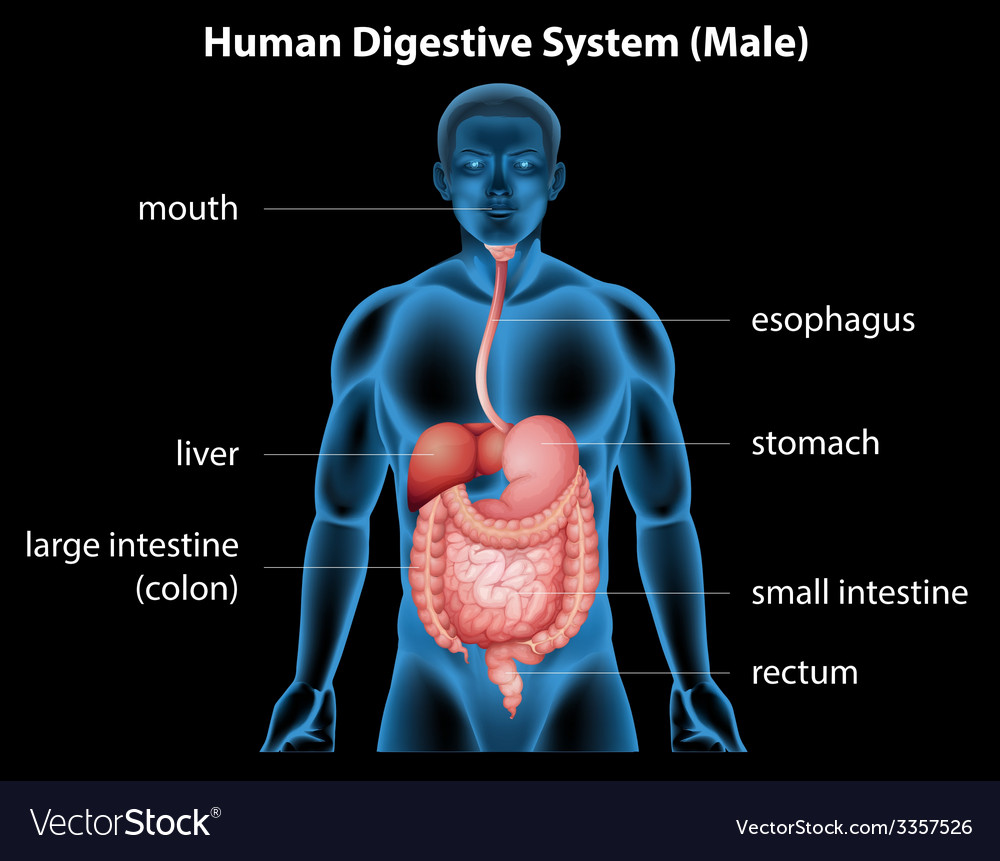 medium resolution of human digestive system vector image