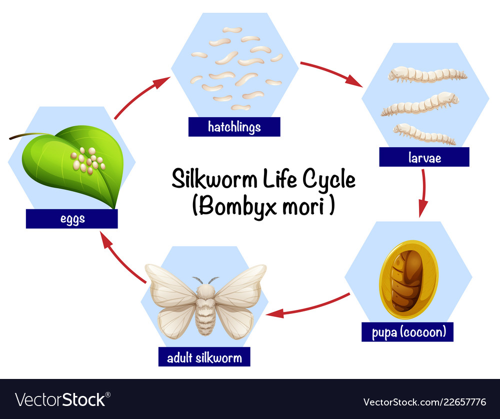 hight resolution of silkworm life cycle diagram vector image