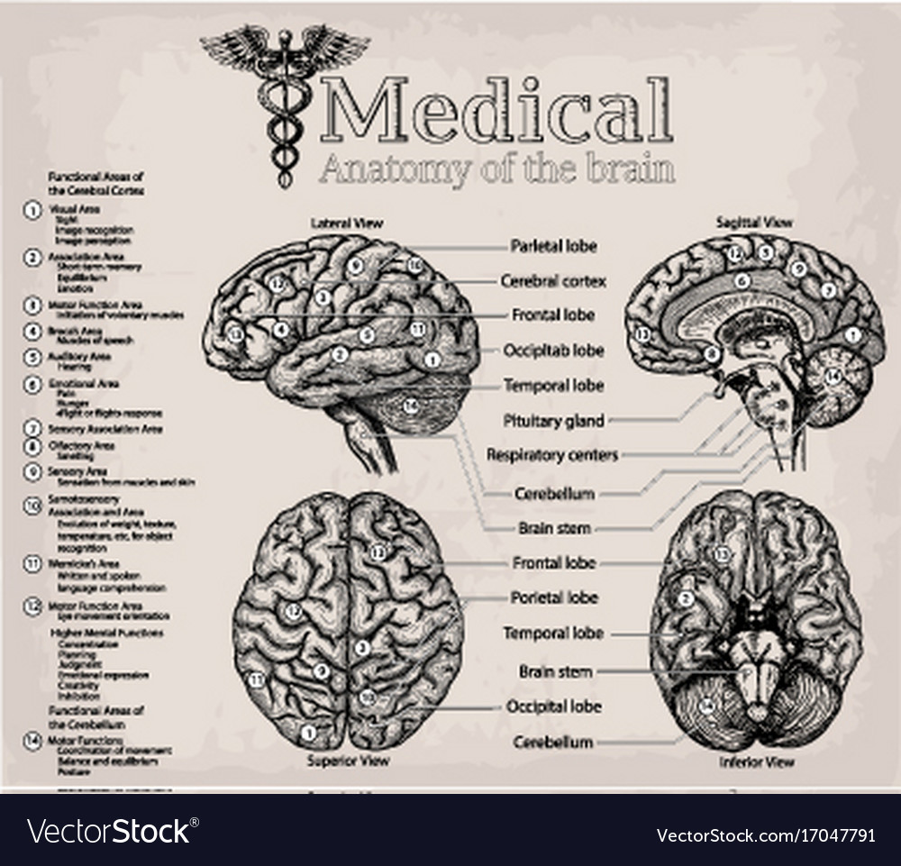 hight resolution of medical anatomy of human brain medicine vector image