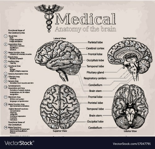 small resolution of medical anatomy of human brain medicine vector image