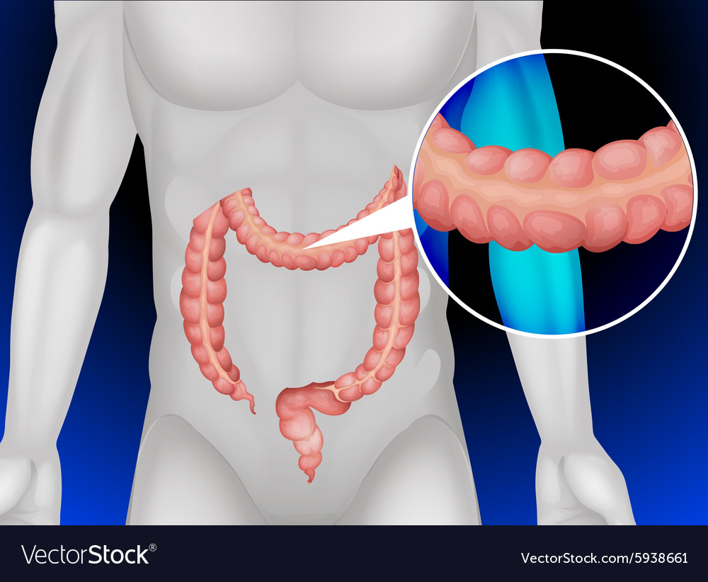 hight resolution of large intestine in human body vector image