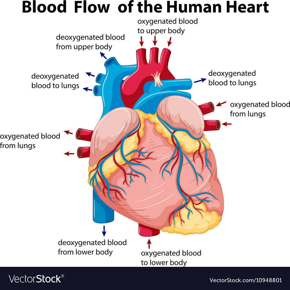 hight resolution of heart diagram with blood flow