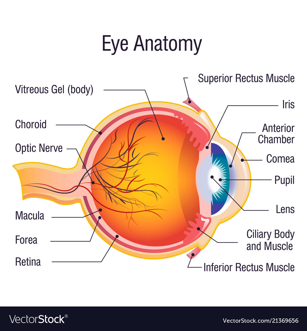 eye anatomy info concept