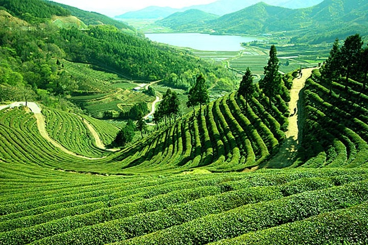 https://i0.wp.com/cdn2.walkthroughindia.com/wp-content/uploads/2012/10/Darjeeling-tea-Gardens.jpg