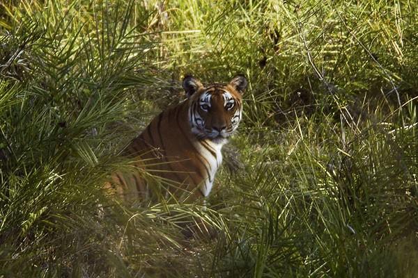 bandipur-tiger