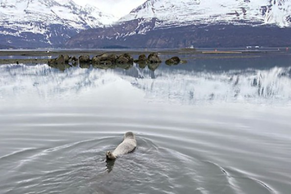 The rescued harbor seal is released into its natural habitat. Credit: Lauren Altieri