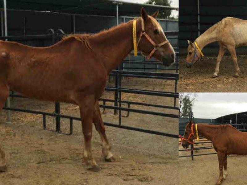 13 Rescued Horses Ready for Adoption from County of San