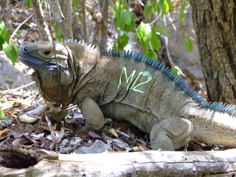 San Diego Zoo Helps Endangered Jamaican Iguana  San Diego CA Patch
