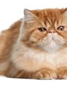 Breed characteristics also persian cat information pictures  facts rh cattime