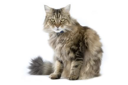 Image result for ragamuffin cat
