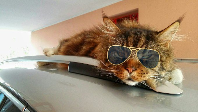 cat with sunglasses on car