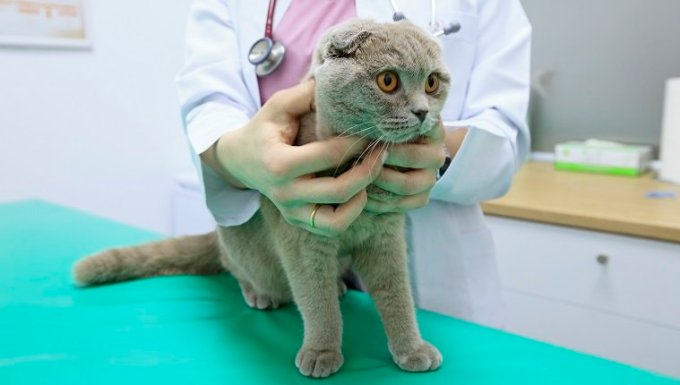 Veterinary examining a Scottish Fold Cat