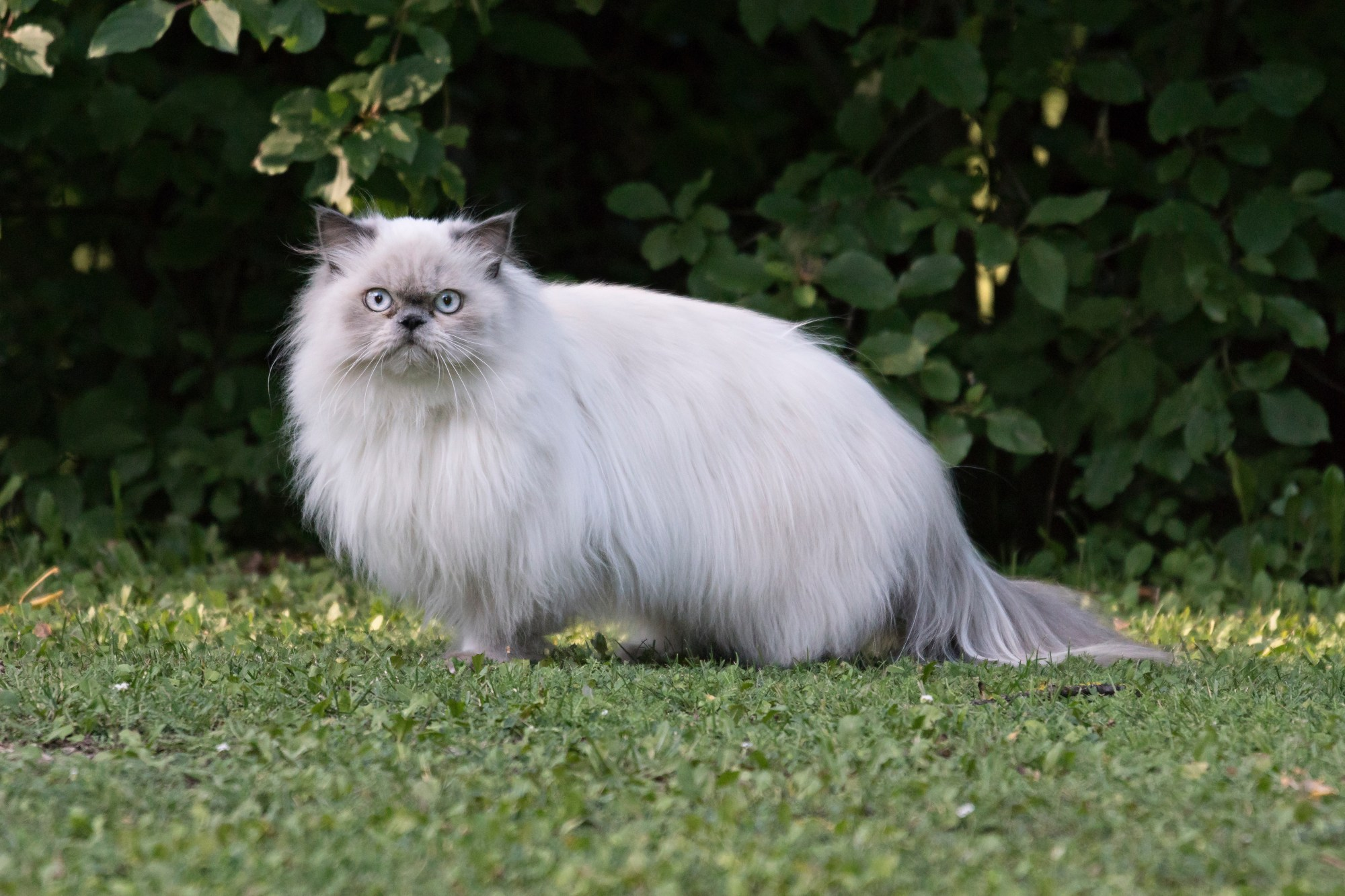 hight resolution of persian cats and kittens