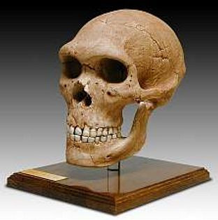 Neanderthal Skull Homo neanderthalensis Pleistocene