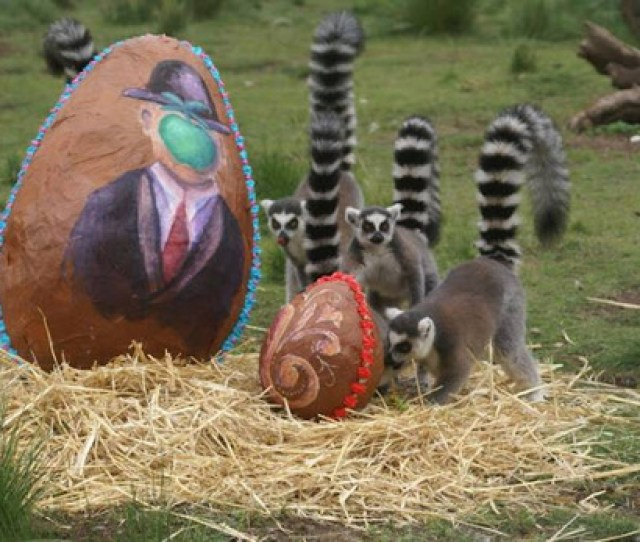 The Lemurs Chimpanzees Polar Bears And Other Zoo Animals Received Eggs Too Each Filled With The Respective Animals Favorite Treats