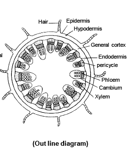 dicot stem diagram interior brain monocot and anatomy of flowering plants biology class 11