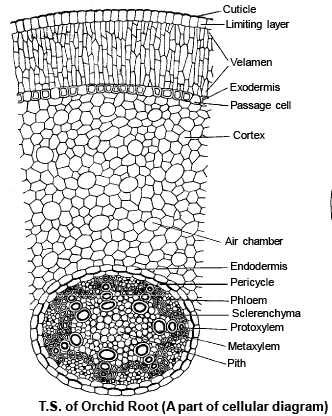 dicot root diagram regulator wiring monocot and anatomy of flowering plants biology class 11