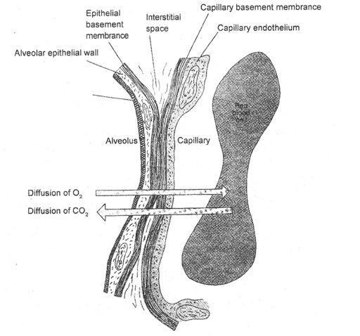 Respiratory System, Chapter Notes, Class 11, Biology Class