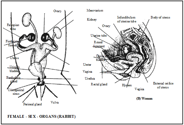 Reproduction in Organisms, Chapter Notes, Class 12