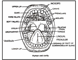 Digestive System, Chapter Notes, Class 11,Biology Class 11
