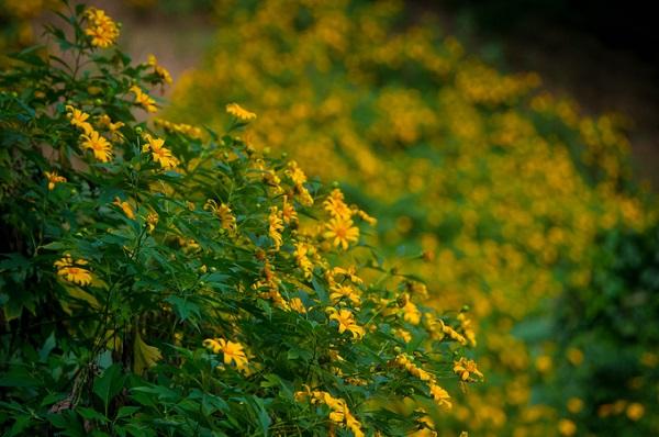 Ở Việt Nam, hoa dã quỳ xuất hiện nhiều nhất ở vùng miền Trung Tây Nguyên, nơi có khí hậu mát mẻ. Ngoài ra, nếu ở phía Bắc, du khách có thể ngắm loài hoa rực rỡ này ở Ba Vì (Hà Nội). Cách Hà Nội chưa đầy 45 km, những sườn núi của vườn quốc gia Ba Vì thời điểm này đang trải thảm hoa vàng sặc sỡ.
