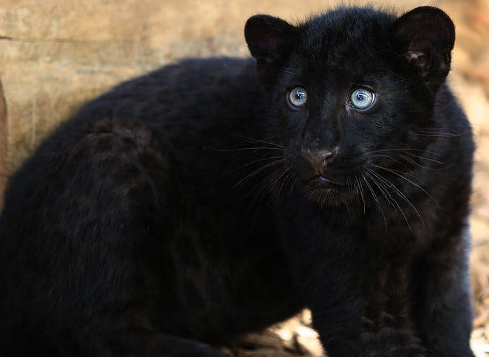 Le lopard noir  Momesnet