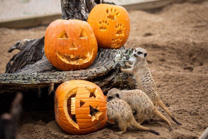 australia sidney zoologico halloween octubre brujas calabazas0000 - Animales disfrutaron de Halloween en zoológico de Australia. Hasta los carnívoros comieron calabazas