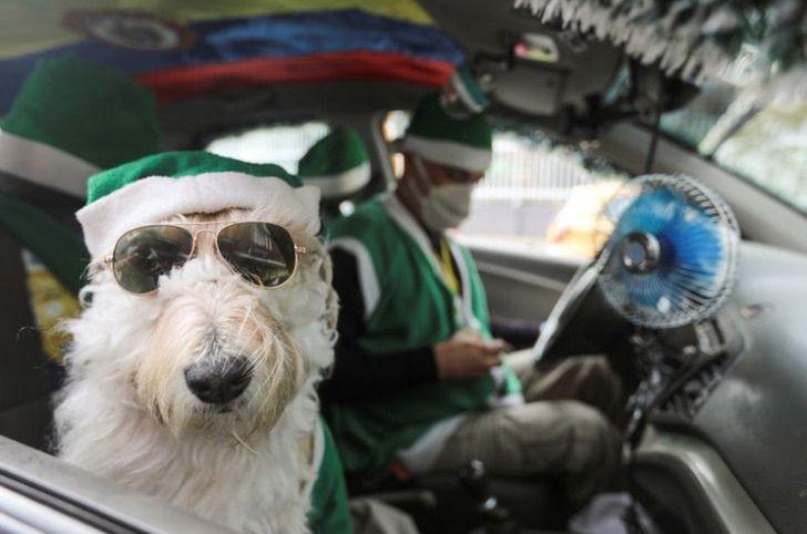 Captura de Pantalla 2020 12 28 a las 14.48.45 - Coronel, el perro taxista que recorre las calles de Colombia vestido de Santa Claus. Regala alegría