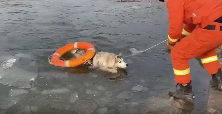 Captura de Pantalla 2020 12 29 a las 13.36.44 - Husky cayó en un lago congelado y aullaba por ayuda. Bomberos lo rescataron con un salvavidas