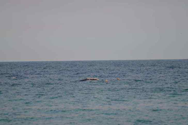 1 62 - Ballena fue vista nadando con una manada de delfines en una playa de Florida. Parecen buenos amigos