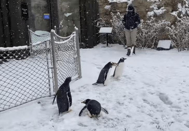 1111 6 - Pingüinos caminaron bajo la nieve para visitar a los osos en un zoológico de EE.UU. Querían jugar