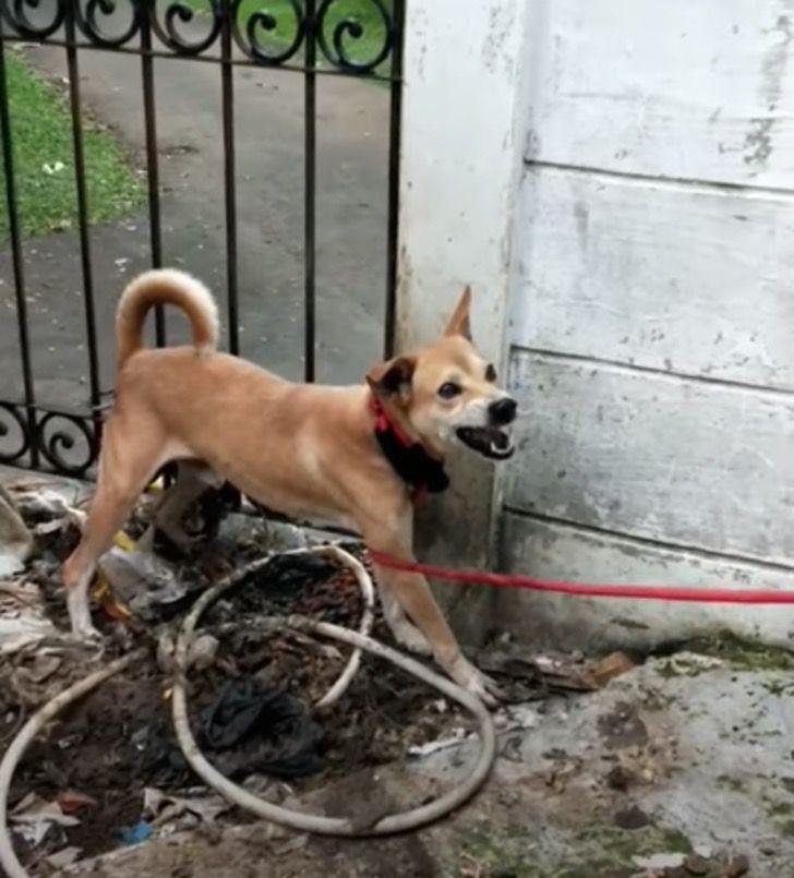 Captura de Pantalla 2021 01 22 a las 11.08.33 - Rescatan a perro que vivía en un espacio ínfimo y sucio del que siempre trataba de huir. Hoy brilla