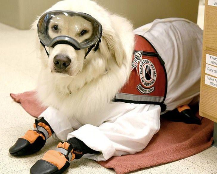 Captura de Pantalla 2021 03 05 a las 14.31.48 - Perrito de servicio trabaja en un laboratorio y ayuda a su dueña con discapacidad. Es un científico