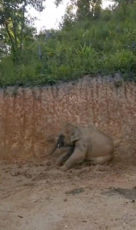 Captura de Pantalla 2021 07 23 a las 16.00.19 - Grupo de elefantes en Tailandia se revolcaron felizmente en el barro. Se refrescaban del calor