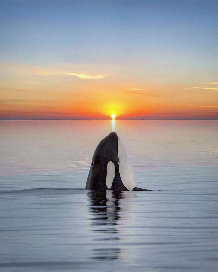 orca sunset marys mark photography 4 - Fotógrafa capta el momento exacto en que una orca se fusiona con la puesta de sol. Bella casualidad