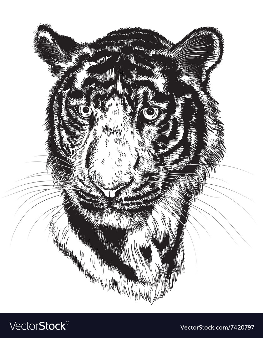 sketch of a tigers