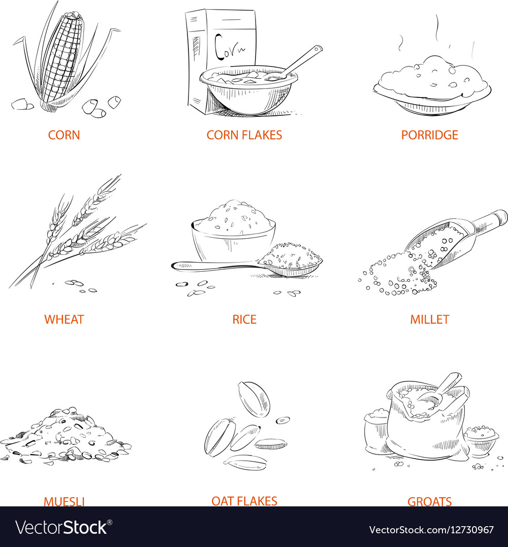 hight resolution of sketch diagram of rice plant