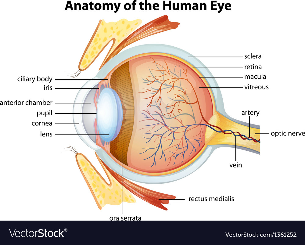 hight resolution of anatomical diagram of the human eye
