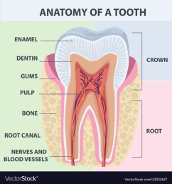 tooth bone diagram [ 1000 x 1080 Pixel ]