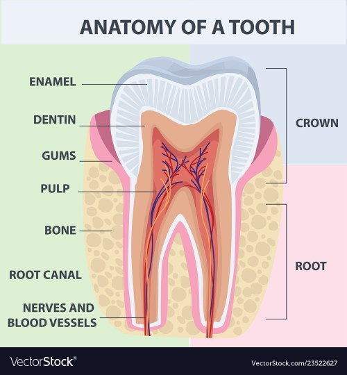 small resolution of tooth bone diagram