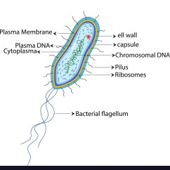 Bacteria Structure Diagram Wiring For Motorcycle Turn Signals Of A Bacterial Cell Cartoon Royalty Free Vector Image